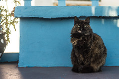THE PRINCE OF TANGER (DanielO'Donnell & AbiPonceHardy) Tags: travel blue cute travelling beautiful beauty cat fur photography eyes nikon kitty fluffy morocco backpacking nomad walls colourful ontheroad nomads tanger colonelmustard madamedijon
