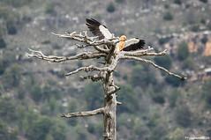 """Alimoche y Posadero"" 2 (fotojuanma2000) Tags: alimoche egyptian vulture raptor serrana cuenca espaa spain fauna salvaje wild life"