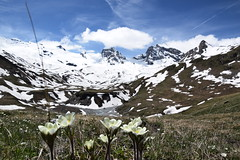 Details of alpine meadow (Fede.Caps) Tags: flowers mountains montagne valle dettagli peaks fiori alpi prato vette rhemes alpino daosta ghiacciai