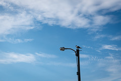 Bird on a light (Tiff&Deke) Tags: northcarolina bird emeraldisle streetlight gull laughinggull nc