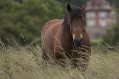 Umour in the high grass (Gypsy Cob) Tags: horses horse animal canon cheval ledefrance meadow tamron 77 iledefrance canoneos each equine chevaux drafthorse seineetmarne ceffylau pr trait umour eich heavyhorse 70d capall trekpaard chevaldetrait equinephotography ardennais zugpferd tamron70200 capaill kezeg equinephotographer traitardennais canoneos70d canon70d umourdelavue tamronsp70200mmf28divcusd tamronsp70200mmf28divcusda009