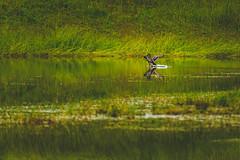 Mallard (Marc Braner) Tags: green bird nature water beauty flying duck outdoor beaty landing mallard 500px ifttt