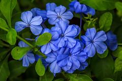 Bouquet azul (Blue bouquet) (Gastn Ivn) Tags: flowers blue naturaleza flores verde green nature azul canon eos flor sl1 100d