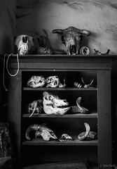 former residents (Jen MacNeill) Tags: blackandwhite bw dead skulls death shelf bones bone horn cabinetofcuriosities colonialpennsylvaniaplantationskull
