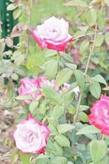 11865012_10153099671382076_6936977003307837072_o (jmac33208) Tags: park new york roses rose garden central schenectady