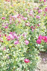 11845181_10153099680612076_3890612789662752084_o (jmac33208) Tags: park new york roses rose garden central schenectady