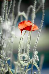 beautiful poppy 01 (michaelinvan) Tags: flower composition canon dof bokeh richmond poppy f2 135mm sunslight 5d2