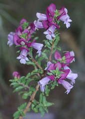 Prostanthera magnifica, Kings Park, Perth, WA, 19/05/16 (Russell Cumming) Tags: plant perth kingspark westernaustralia lamiaceae prostanthera prostantheramagnifica
