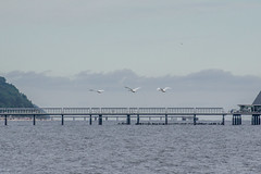 Mute Swan (katyarud) Tags: travel bird birds usedom muteswan cygnusolor anatidae  anseriformes