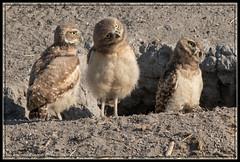 Three Little Owlets 3013 (maguire33@verizon.net) Tags: california us unitedstates siblings owl chino burrowingowl owlet