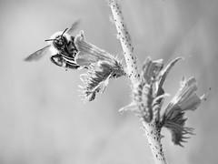 Gavage de nectar (steph20_2) Tags: bw white black macro monochrome closeup insect noir noiretblanc ngc panasonic bee monochrom tamron blanc abeille insecte m43 gh3 sp90 52bb skanchelli