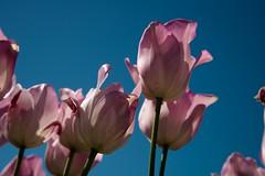 DSC_3839 (Copy) (pandjt) Tags: ca flowers canada bc britishcolumbia tulip abbotsford tulipfestival abbotsfordtulipfestival