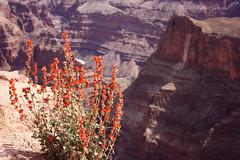 Edging (@tolida) Tags: flowers arizona usa flores colorado desert gran desierto montaa can estados unidos abismo