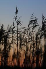 Pluimen (zsnajorrah) Tags: sunset sky plants reed nature netherlands night dusk almere ef70200mmf4lis waterlandsebos 7dmarkii