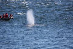 Whale (18 von 19) (karstenniehues) Tags: sea canada st whale lorenz wal whalewatching tadoussac kanada sugetier blauwal finnwal minkwal