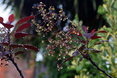 Smoky and Wet (Jainbow) Tags: smoketree smokebush tree garden cotinuscoggygria cotinus jainbow