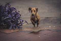 Galopando... (Pablin79) Tags: light plants dog pet argentina colors animal stairs jump outdoor run dachshund dackel django teckel misiones posadas