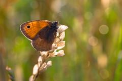 Mariposa.. ((Raffaella@)) Tags: verde green field june butterfly gold fly bokeh volo ear campo giugno mariposa rugiada prato farfalla spiga luminosit brillantezza