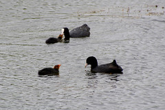 Coots 080716 (trevorcridlan) Tags: nature water birds countryside nikon outdoor wildlife lakes oxfordshire coots wildbirds juvinile d5200 tamron16300