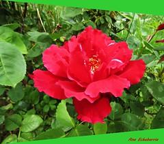 Una flor para el domingo (kirru11) Tags: hojas flor campo quel verdes canonpowershot kirru11 anaechebarria