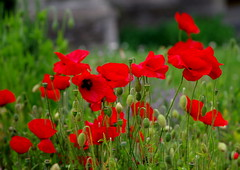 Splash of red. (pstone646) Tags: flowers red plants nature kent flora meadow poppies wildflowers