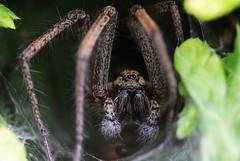 Spinne (kaistaudinger) Tags: canon d spinne augen 700 makro tamron 90mm blatt insekt netz haare