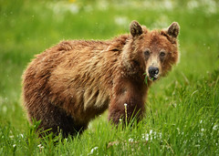 The Snow Bear (Jeff Clow) Tags: wild canada nature june outside outdoors wildlife alberta banff mothernature 2016