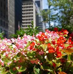 Flowers and city (heldermira) Tags: park leica city flowers urban plant newyork flower cityscape outdoor manhattan flowerbed micro manhatan urbanpark fourthirds microfourthirds panasoniclumixgx85