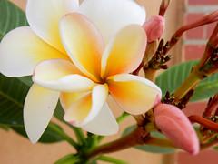 palermo: Plumeria frangipane (Luciano ROMEO) Tags: plumeria frangipane pomelia fiore giallo bianco rubra mazzo di fiori