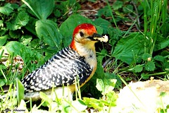Red-bellied Woodpecker (Male) (--Anne--) Tags: bird nature birds woodpecker colorful feeding eating wildlife woodpeckers suet naturephotography birdphotography beautifulbird wildlifephotography