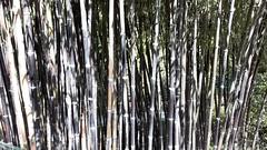 isole borromee (20) (giangian239) Tags: lago acqua blu giardino maggiore albero verde prato statua monumento isola isole borromee madre bella superiore panorama paesaggio lungolago bamboo