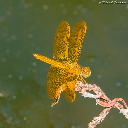 "Mexican Amberwing • <a style=""font-size:0.8em;"" href=""http://www.flickr.com/photos/59465790@N04/28063505182/"" target=""_blank"">View on Flickr</a>"