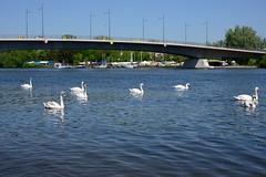 325_Swans_RvrMn_0841 (WALKFRANKFURT) Tags: bridge offenbach frankfurt rivermain swans swan