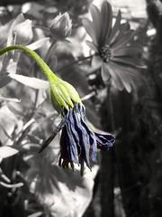 Muerte (mayavilla) Tags: verde flor jardin muerte seca nada tiempo morada marchitando