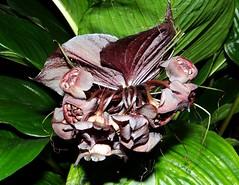 BAT FLOWER  #3 (3Point141) Tags: usa orlando florida orchidshow tacca taccaceae batflower dioscoreaceae taccachantieri 3point141 orlandogardenclub