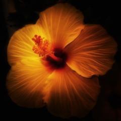 the smoulder (SleepingBear) Tags: friends glow hibiscus fabulousflowers sleepingbearimagewear awesomeblossoms flickrflorescloseupmacros oaklandparknursery unforgettableflowers sonydscrx100