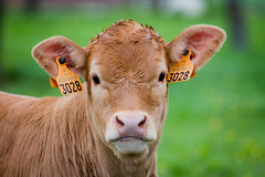 3028 o_o 3028 (alexandre carrard) Tags: nature cow bokeh veau hairygitselite