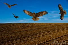 The Buzzard (Shastajak) Tags: bird field flying wings pentax flight feathers bluesky layers buzzard buteobuteo k5 photoshopelements cultivated hss drilled tamron18250mm pentaxk5 pse10 sliderssunday seedssown