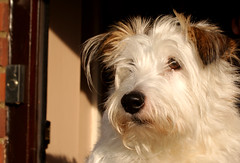 Scamp (Harry-Williams) Tags: dog animals jack russel