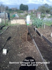 Plot 12A - Beetroot 'Chioggia' just transplanted 26-04-2013 (Davy1000) Tags: carrots leeks broadbeans onionsets earlypotatoes april2013 plot12a lettucelittlegem halfbed beetrootchioggia potatoesrocket