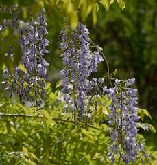wisteria (altan o) Tags: flower purple violet lavender lilac wisteria
