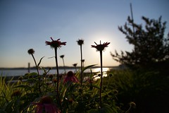 Cone Flowers Near Sunset (ifiamblue) Tags: flowers sunset lake nature water canon cone 6d