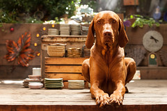 gibson_20121002_0035.jpg (GibsonVisuals Photography) Tags: dog pets mist cute dogs portraits vizsla portraiture placerville sunrays dogphotography petphotography coverphoto