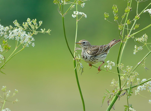 Meadow Pipit @ Frickley Country Park