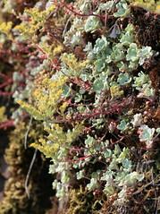 Sedum_spathulifolium_5_2 (Mark Egger) Tags: crassulaceae sedumspathulifolium