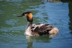 suisse léman oiseaux morges greatcrestedgrebe podicepscristatus haubentaucher svasso svassi grèbe huppé oiseauxaquatiques