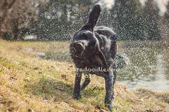 Shake It, Baby (labradoodledoo) Tags: dog water animal animals germany fun bayern deutschland bavaria tiere drops bath wasser labrador mood good bad retriever hund relaxation tier shaking entspannung spas