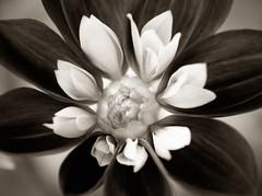 Mocha Dahila (cahadikin) Tags: camera white black flower macro garden lens photography flora nikon photos mocha micro 60mm nikkor lense d5100