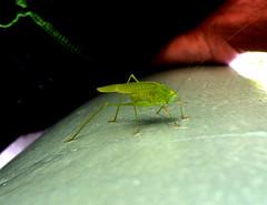 New Guy in da neighborhood (Rusteddog) Tags: macro animal bug grasshopper locust