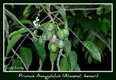 Almond (Laily Lanisy) Tags: almond kenari prunusamygdalus